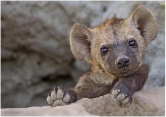 tf 05262016 fnd img hyena cub